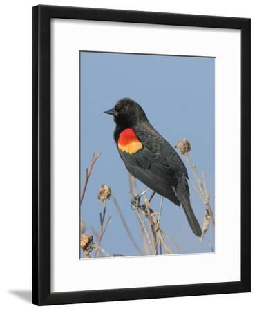 A Male Red-Winged Blackbird, Agelaius Phoeniceus, in Low Vegetation