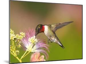 A Male Ruby-Throated Hummingbird Feeding on Mimosa Flowers by George Grall