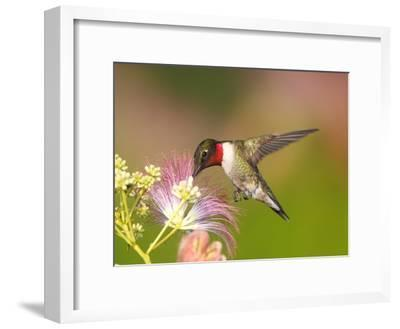 A Male Ruby-Throated Hummingbird Feeding on Mimosa Flowers