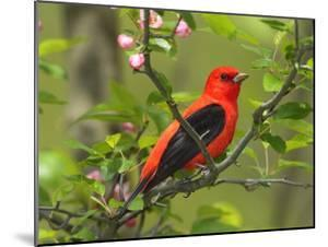 A Male Scarlet Tanager, Piranga Olivacea, Perched on a Tree Branch by George Grall