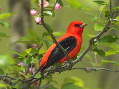 A Male Scarlet Tanager, Piranga Olivacea, Perched on a Tree Branch