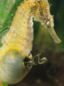 A Male Sea Horse with Young Emerging from Birthing Sac by George Grall