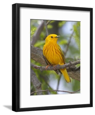 A Male Yellow Warbler, Dendrica Petechia, Perched on a Tree Branch