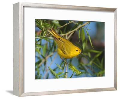 A Male Yellow Warbler,Dendroica Petechia Perched on a Tree Branch