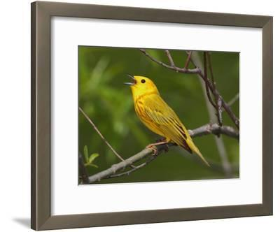 A Male Yellow Warbler, Dendroica Petechia, Singing a Territorial Song
