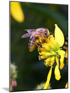 A Non-Native Honey Bee Taking Nectar and Covered with Pollen Grains by George Grall