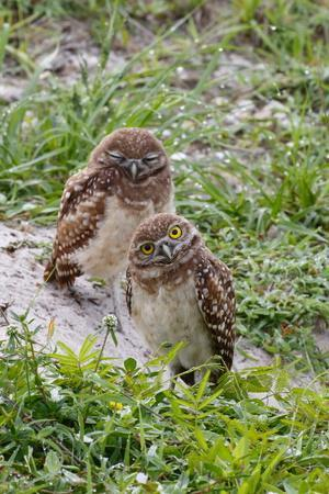 A Pair of Burrowing Owls, Athenhene Cunicularia, in Sandy Burrow