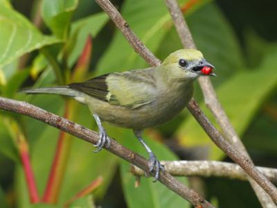 A Palm Tanager, Thraupis Palmarum, with a Berry in it's Mouth by George Grall