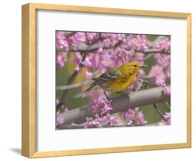 A Pine Warbler, Dendroica Pinus, Perched in a Redbud Tree in Spring