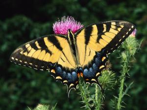 A Tiger Swallowtail Butterfly Feeds on a Thistle Flower by George Grall