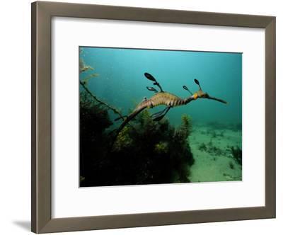 A Weedy Sea Dragon