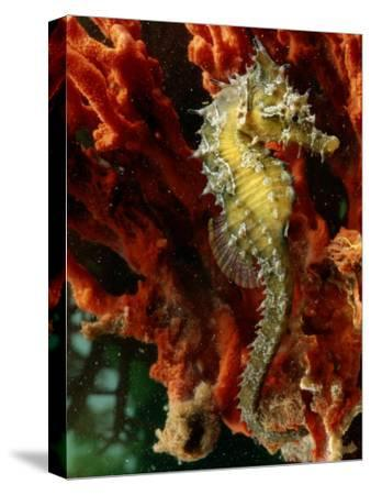 A Young Lined Sea Horse in a Clump of Red Seaweed on a Piling