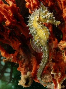 A Young Lined Sea Horse in a Clump of Red Seaweed on a Piling by George Grall
