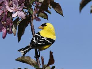 American Goldfinch Perched on a Flowering Tree Branch by George Grall