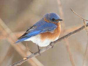 An Eastern Bluebird, Sialia Sialis, Perched on a Twig by George Grall