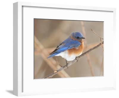 An Eastern Bluebird, Sialia Sialis, Perched on a Twig