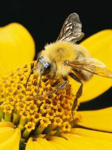 Bee on a Flower by George Grall