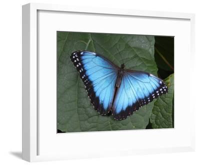 Blue Morpho Butterfly, Morpho Peliedes, Lights on a Green Leaf
