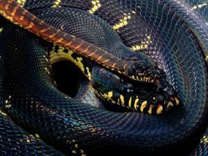 Boelens Python by George Grall