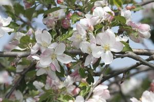 Close Up of Apple Blossoms in Springtime by George Grall