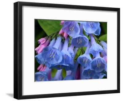 Close Up of Virginia Bluebell Flowers, Mertensia Virginicais
