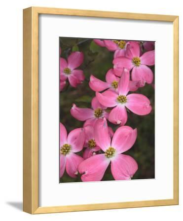 Cluster of Pink Dogwood Flowers, Cornus Florida Rubra