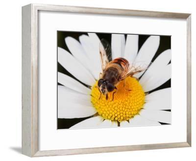 Drone Fly, Earistalis Species, a Honey Bee Mimic, Feeding on Nectar