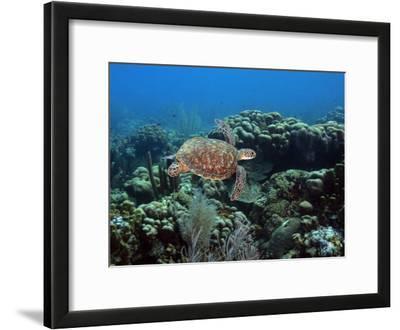 Endangerd Green Sea Turtle, Chelonia Mydas, Swimming in a Coral Reef