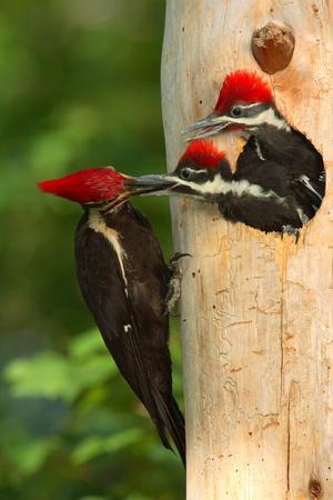 Female Pileated Woodpecker Feeding a Male Chick as Female Chick Waits.Dryocopus Pileatus