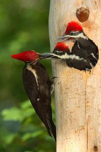 Female Pileated Woodpecker Feeding a Male Chick as Female Chick Waits.Dryocopus Pileatus by George Grall