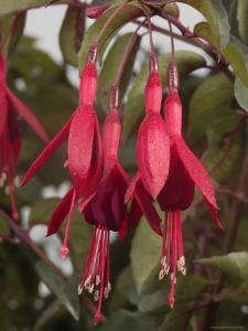 Fuschia Flower, California by George Grall