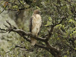 Juvenile Red-Tailed Hawk Perches in an Oak Tree by George Grall