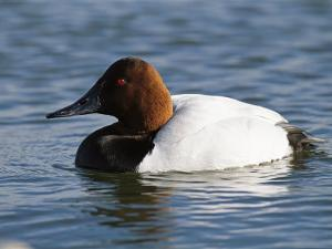 Male Canvasback Duck Swimming in Calm Water by George Grall