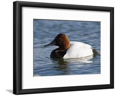 Male Canvasback Duck Swimming in Calm Water