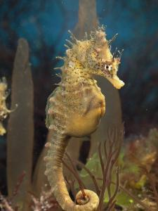 Male Sea Horse with Pouch Visible, Studio Shot, Australia by George Grall