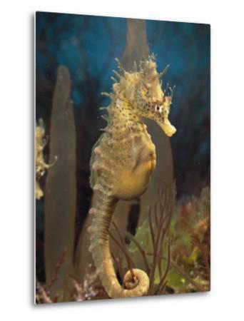 Male Sea Horse with Pouch Visible, Studio Shot, Australia