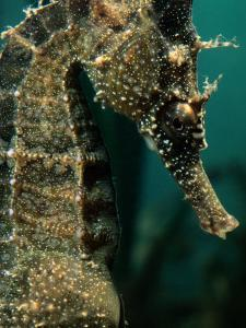 Male Seahorse (Hippocampus Whitei) by George Grall