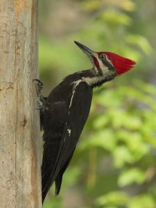 Pileatd Woodpecker Scales a Pine Tree Trunk by George Grall