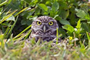 Portrait of a Burrowing Owls, Athenhene Cunicularia by George Grall