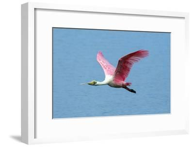 Portrait of a Roseate Spoonbill, Platalea Ajaja, in Flight