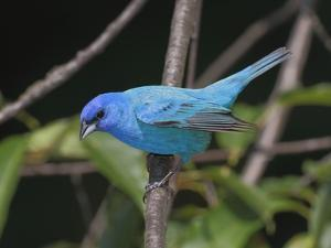 Portrait of an Indigo Bunting, Passerina Cyanea, Perched on a Twig by George Grall