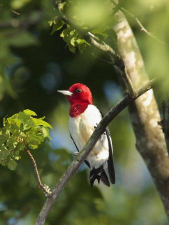 Red-Headed Woodpecker Perched on a Tree Branch