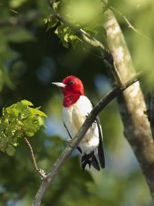 Red-Headed Woodpecker Perched on a Tree Branch by George Grall