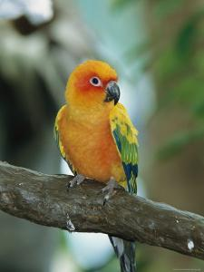 Sun Conure Parrot, Captive by George Grall