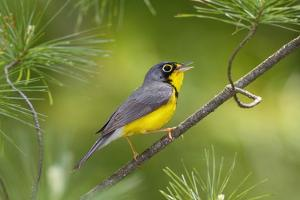 The Canada Warbler, Cardinella Canadensis, Perching on the Branch of a Tree by George Grall