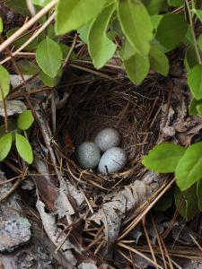 Towhee Nest with 3 Eggs in It. Towhees are Ground Nesting Birds by George Grall