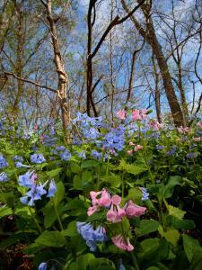 Virginia Bluebells, Mertensia Virginicais, Herald Spring in a Forest by George Grall