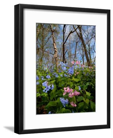 Virginia Bluebells, Mertensia Virginicais, Herald Spring in a Forest