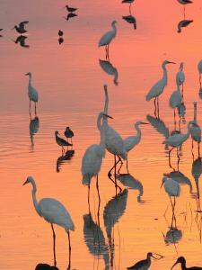 Wading Birds Forage in Colorful Sunset Water, Bombay Hook, Delaware by George Grall