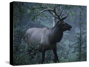 Adult Bull Elk with Antlers in a Woodland Landscape by George Herben